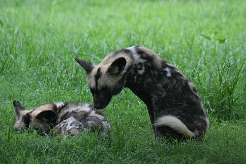 Pictures of wild dogs