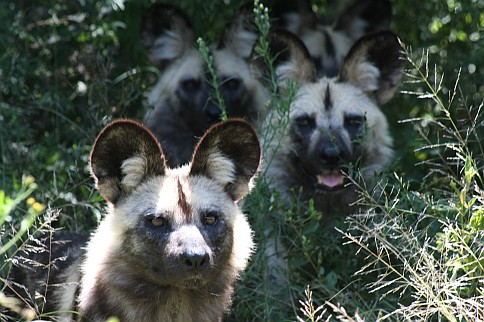 Picture of Wild Dogs