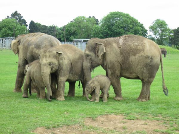 IMG_2963_one_day_old_baby_elephant_and_family_600